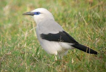 bush crow